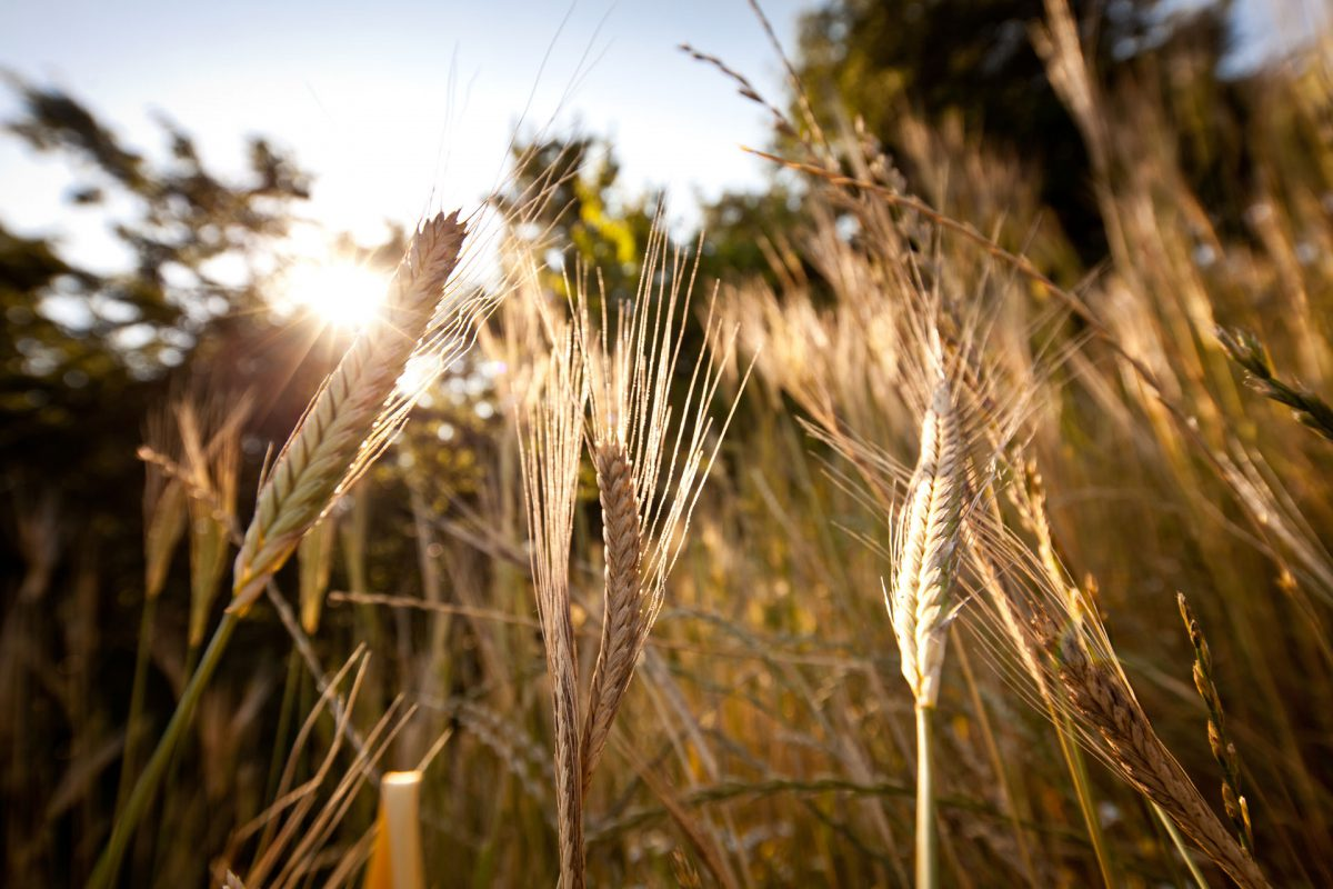 EINKORN~The Origin of All Wheats~
