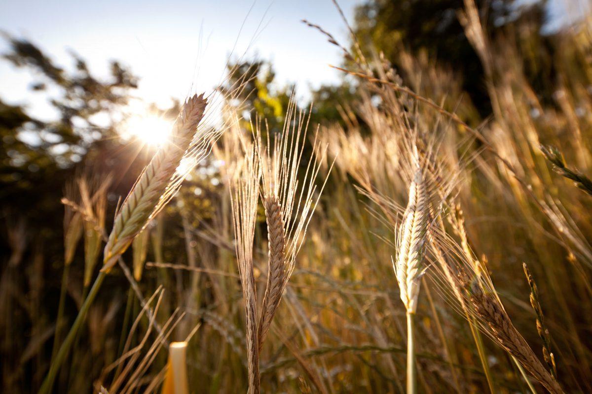 EINKORN~The Origin of All Wheats~